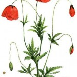free-vintage-flower-clip-art-red-poppies
